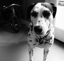 Wine Dog Seriously Black&White