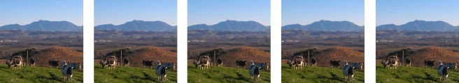 Bucher.Cows-and-vineyard-looking-east-pano